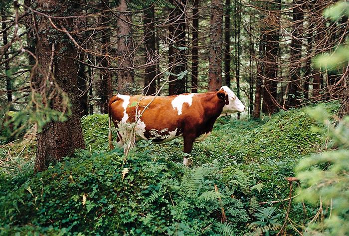 Kráva uprostřed lesa v Alpách